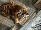 平度3人大代表非法驯养11只老虎:2人请辞