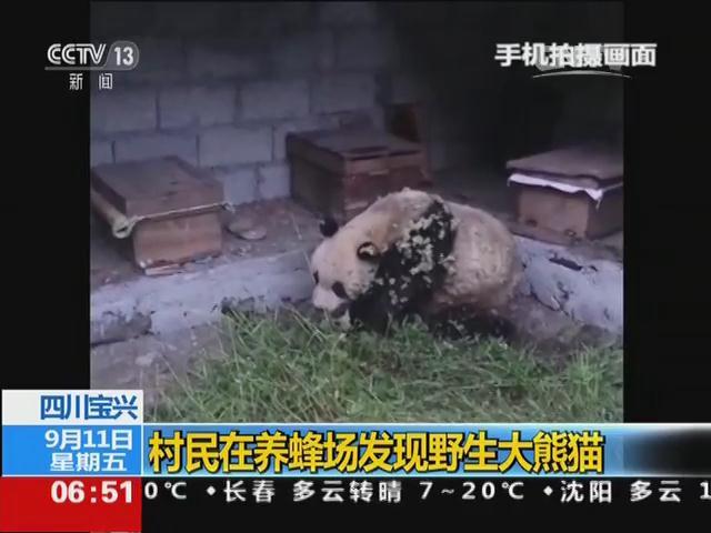 四川宝兴:村民在养蜂场发现野生大熊猫