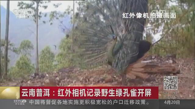 红外相机记录野生绿孔雀开屏